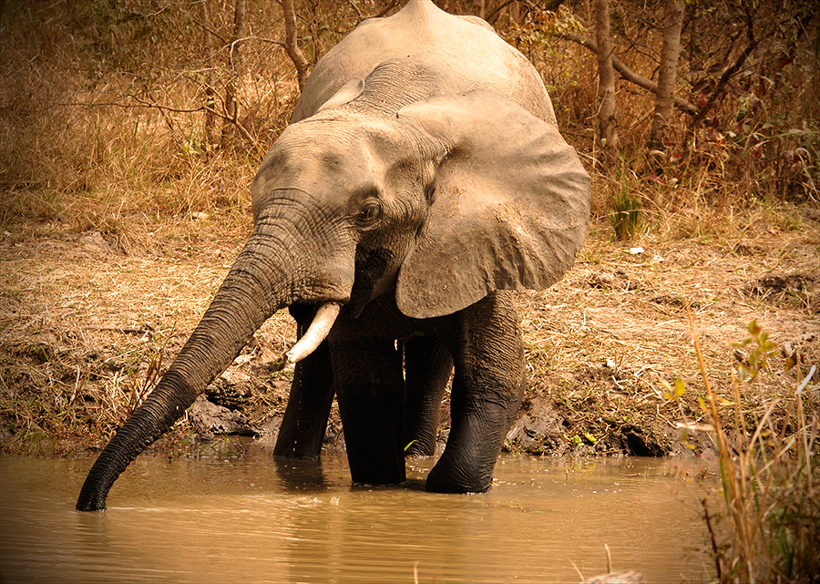 Elephant near water malaria blog