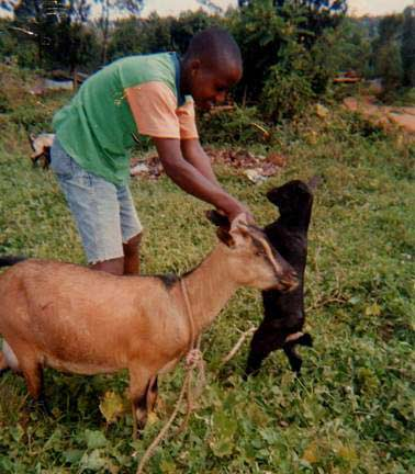 web boy feeds goat