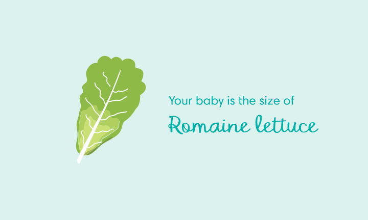 Your baby is the size of	romaine lettuce
