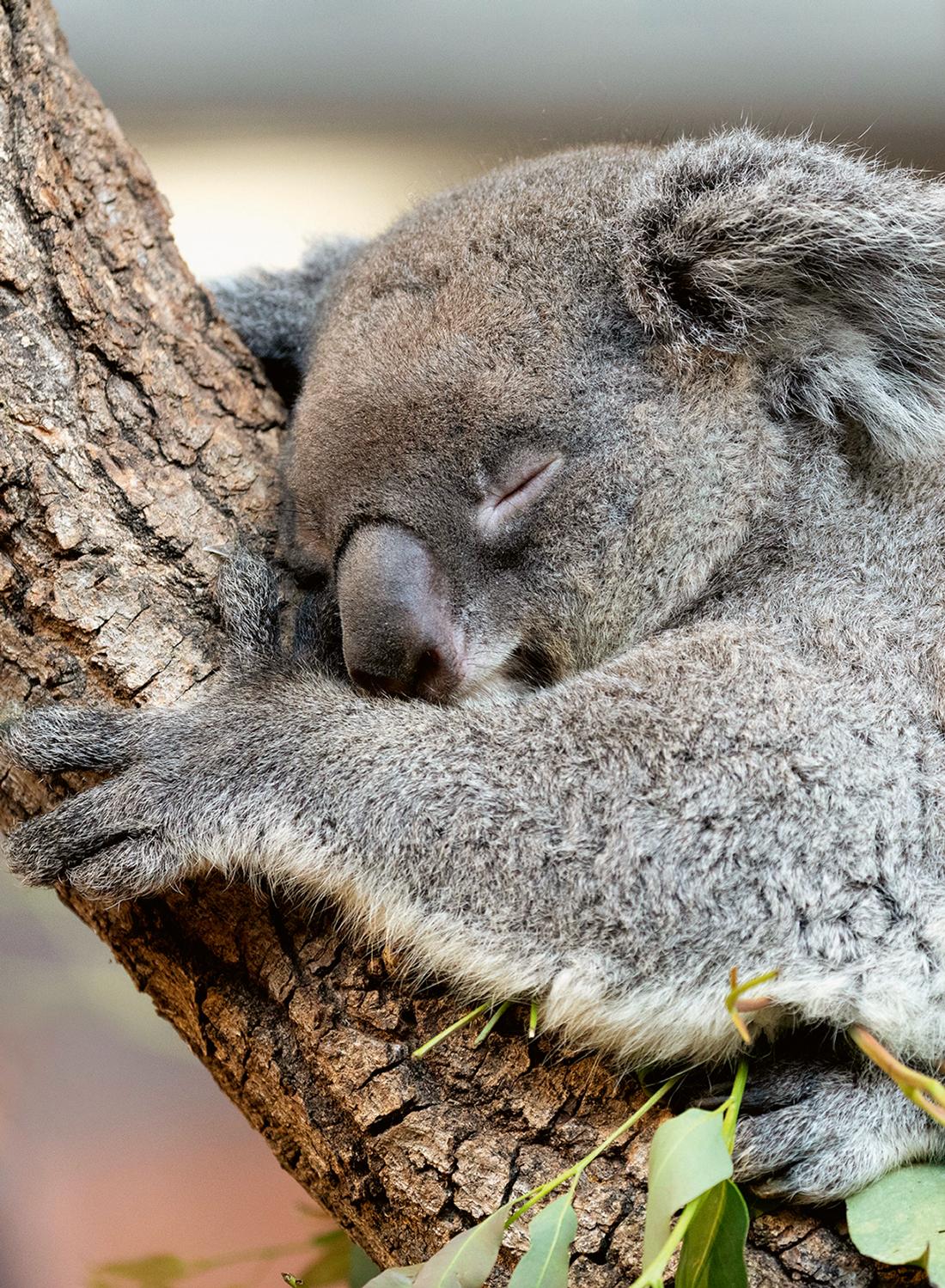 Glueckslos osa koala header