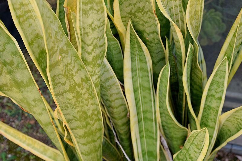 Sansewierie – elegancka roślina doniczkowa dla zabieganych
