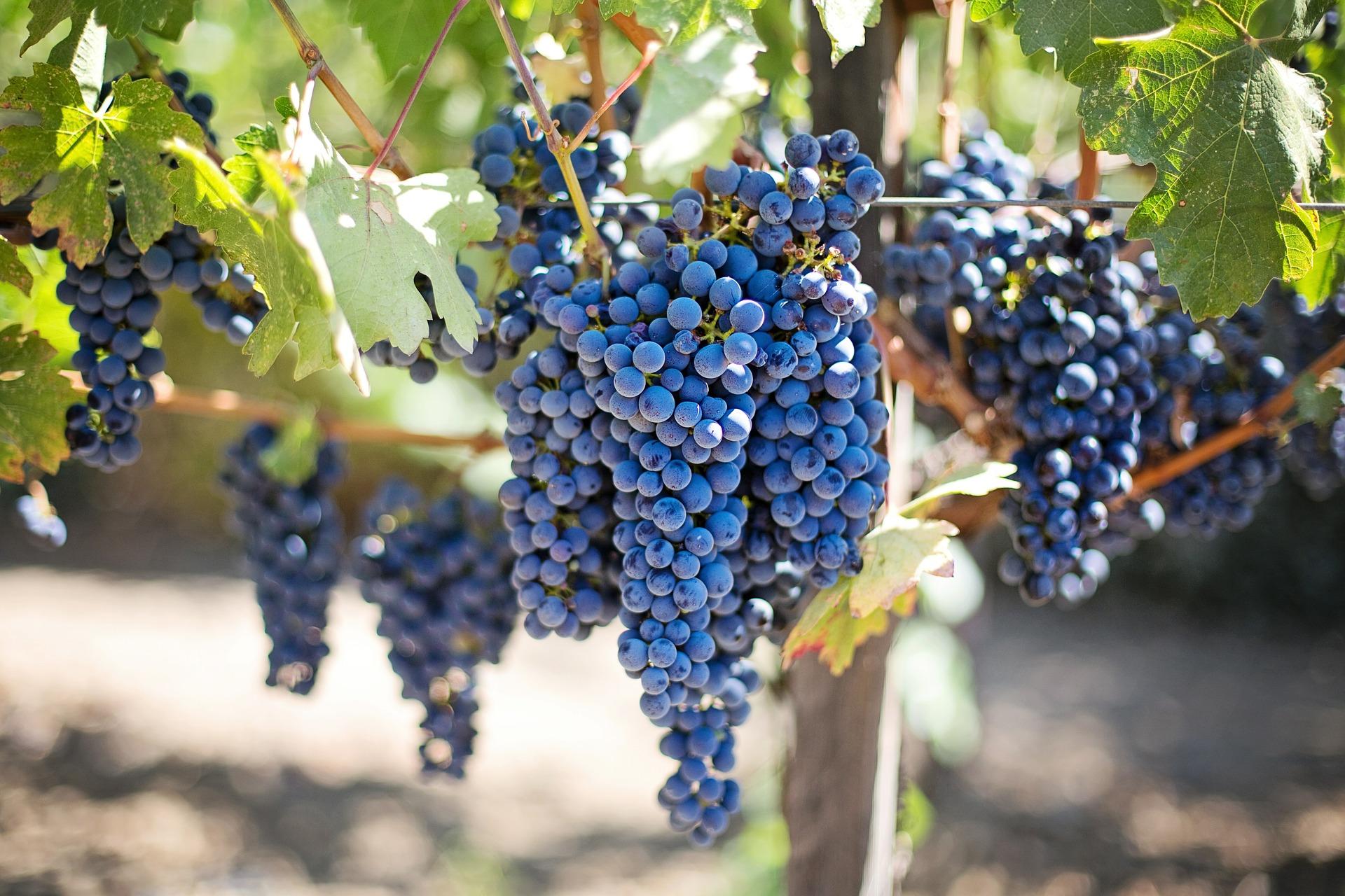 Cięcie winorośli – kiedy i jak przycinać?