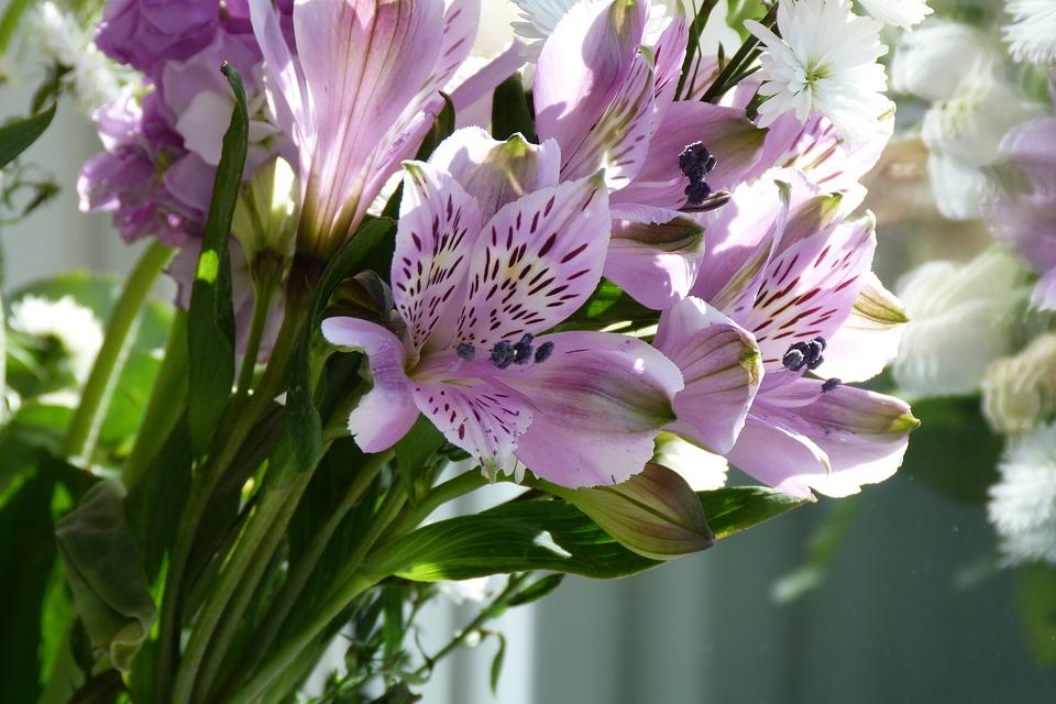 Alstremeria – charakterystyka, uprawa i pielęgnacja
