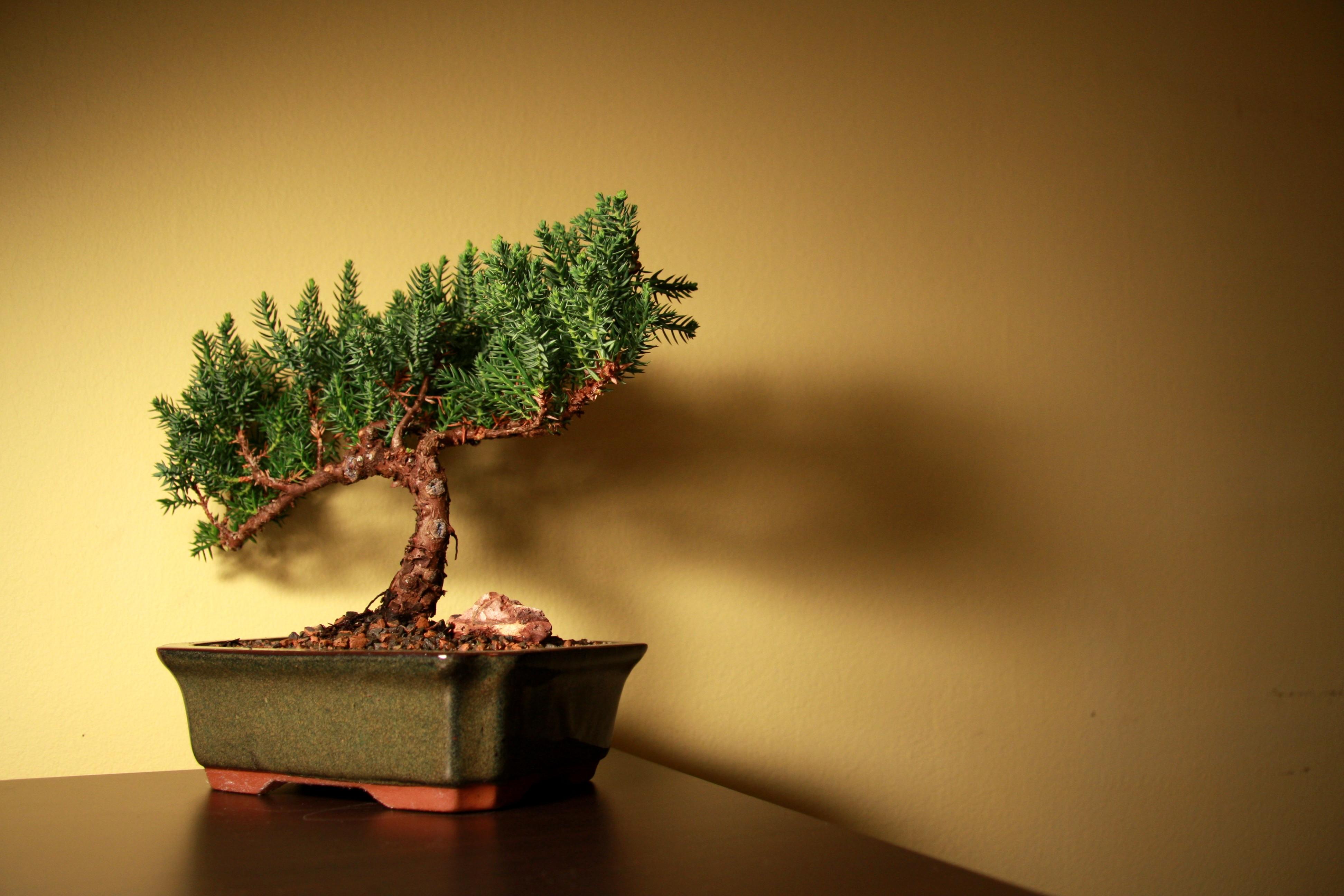 Drzewko bonai