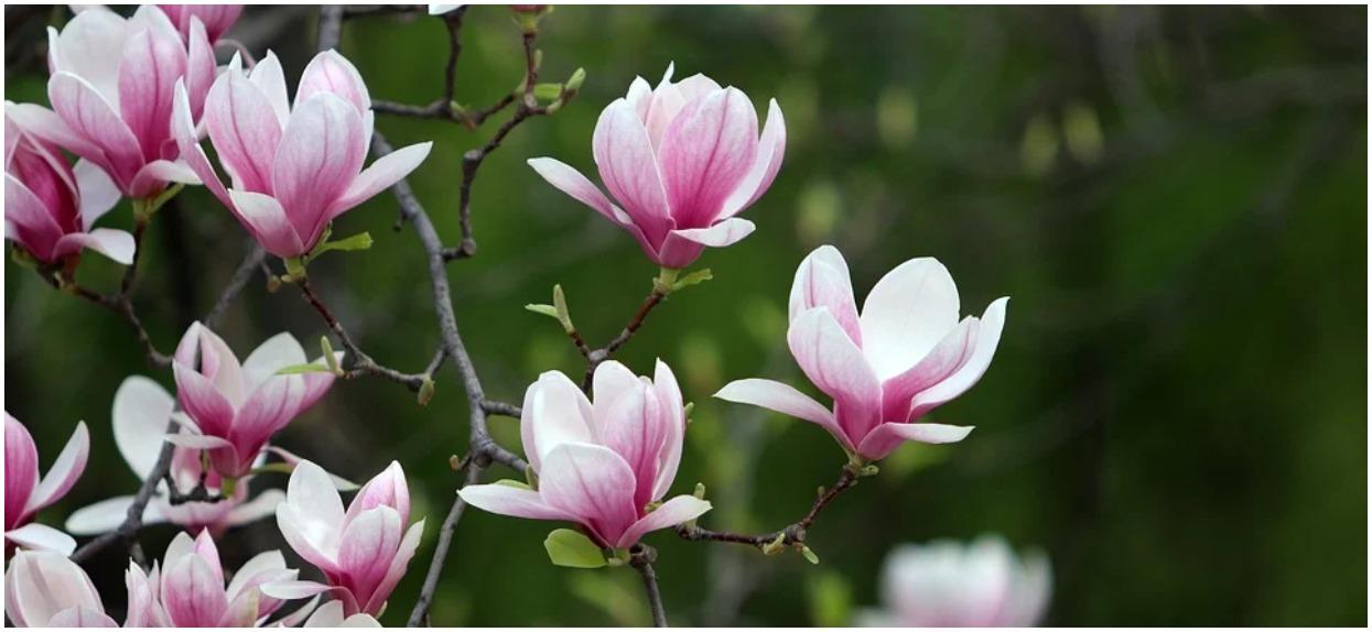 Rozmnażanie magnolii – jaką metodę wybrać?