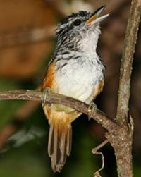 Warblingantbird.jpg