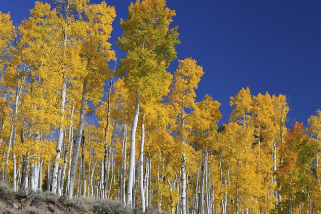 Aspen Trees - Lance Oditt
