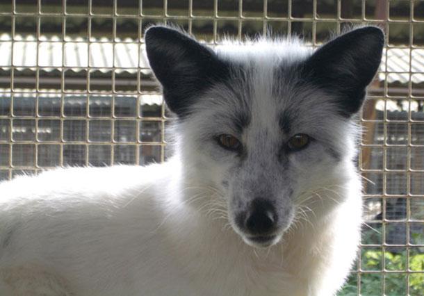 Silver-fox.jpg