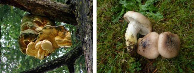 Agarikon and Slimy spike-cap mushrooms - Paul Stamets