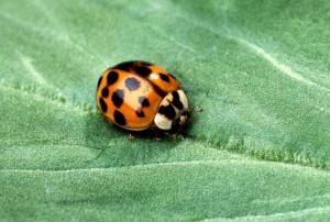 spot-a-ladybug-300x202.jpg