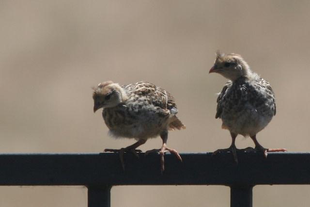 quail-chicks.jpg