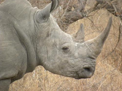 Rhinoprofile.jpg