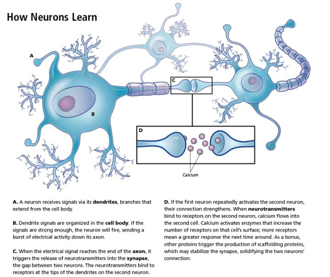 how-neurons-learn