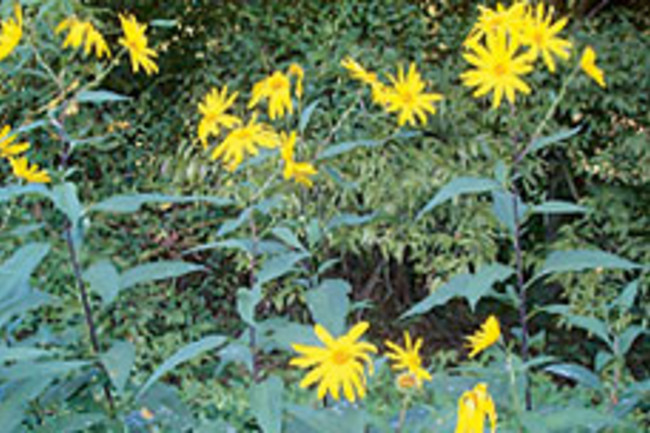 yis-sunflowers49.jpg