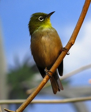 Japanese-White-Eye-Image.jpg