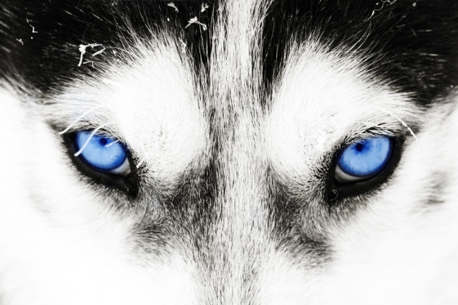 Genetic Testing Reveals Why Huskies Have Blue Eyes