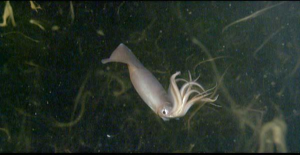 humboldt-squid.jpg