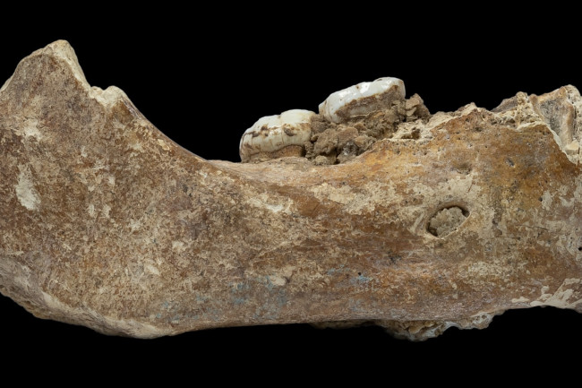 Partial Denisovan Jaw - Dongju Zhang, Lanzhou University