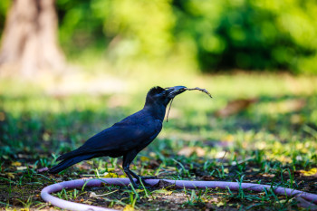 The More We Learn About Crow Brains, the More Humanlike Their Intelligence Seems