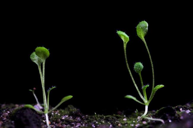 transgenic plant of Arabidopsis.