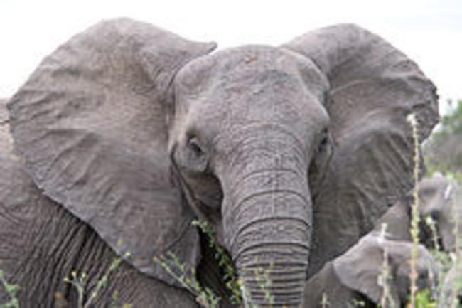 Angry_elephant_ears.jpg