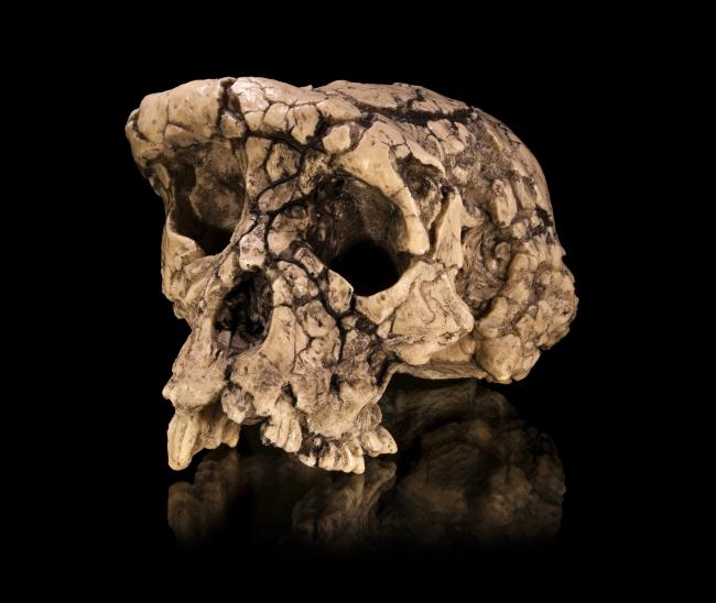 Sahelanthropus tchadensis Skull