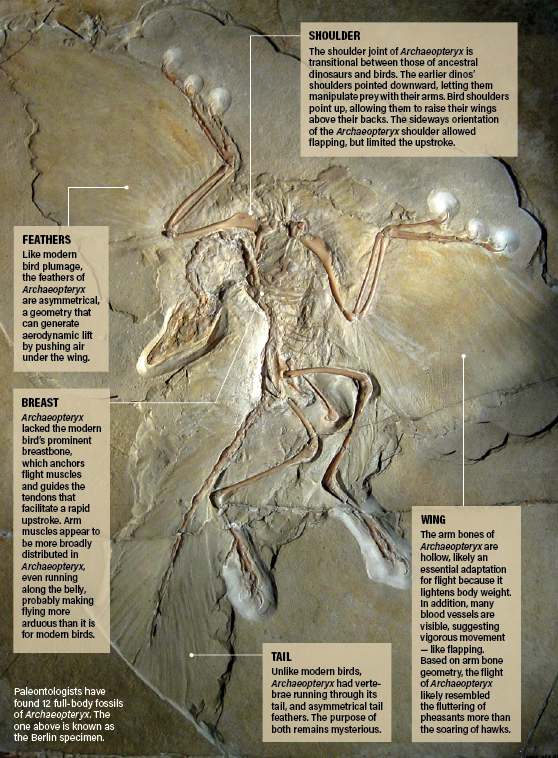 Archaeopteryx Diagram