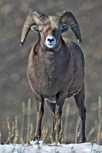 Big_Horn_Sheep.jpg