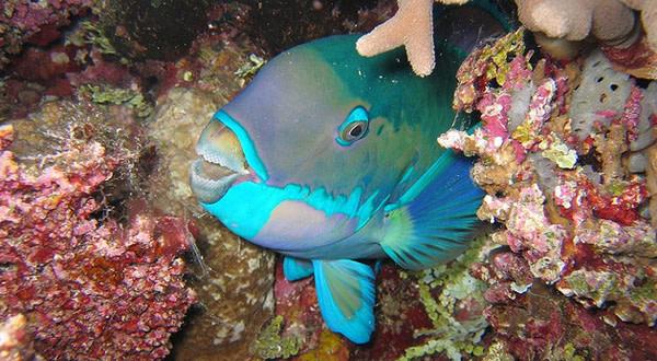 Parrotfish1.jpg