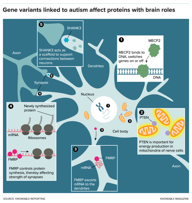 G Proteins in Autism - Knowable