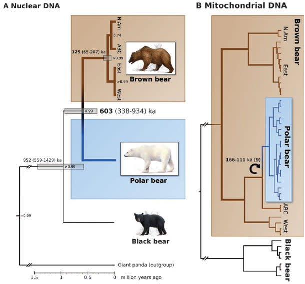 Bear_nuclear_mitochondrial.jpg