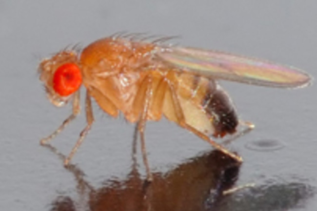fruit-fly-2.jpg
