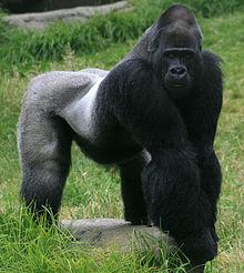 Male_gorilla_in_SF_zoo.jpg