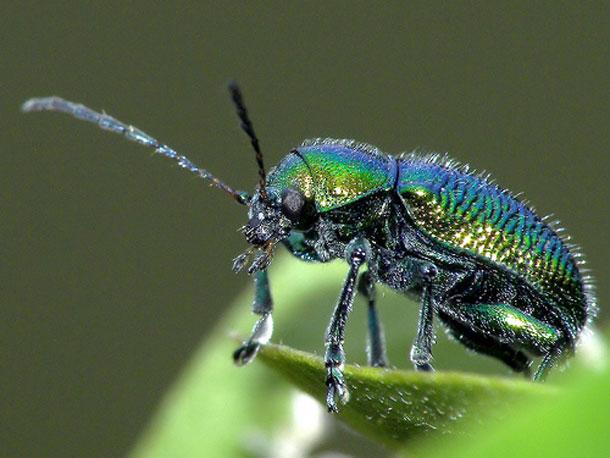 Green_dock_beetle_on_leaf1.jpg
