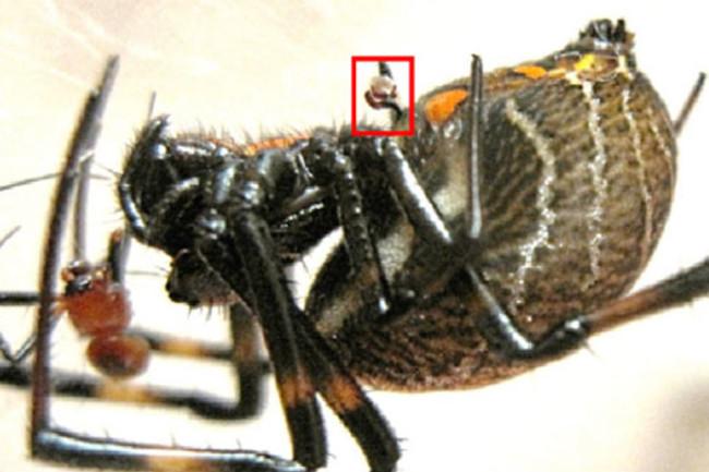 Spider-cannibal-detached-ge.jpg