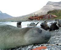 Elephant-seal-recorder.jpg