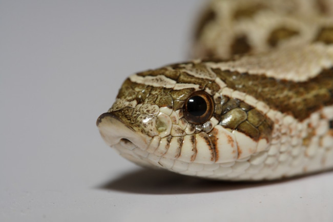 Watch Hognose Snake Fakes Death In Most Overacted Way Discover Magazine
