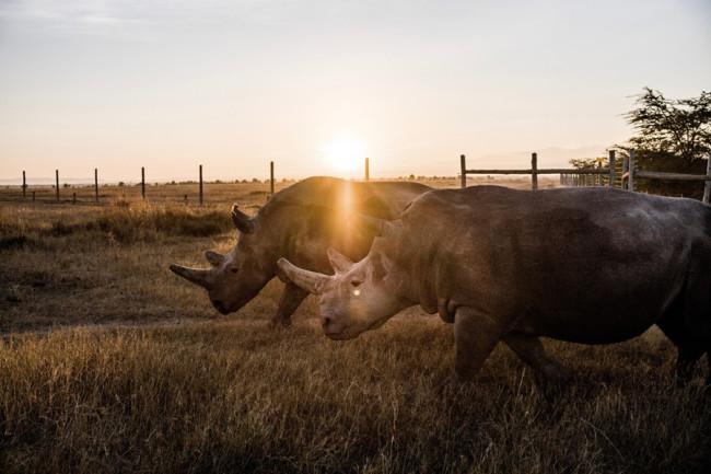 Last White Rhinos - Justin Mott