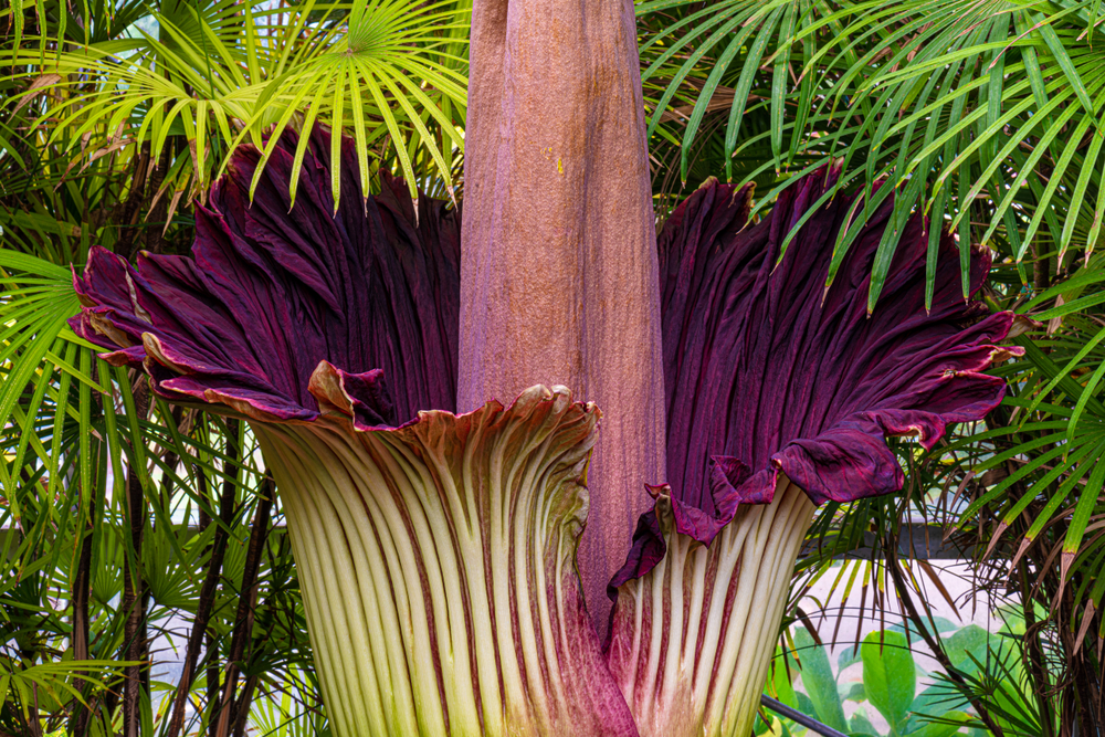 What's the Big Stink About Corpse Flowers? thumbnail