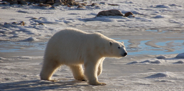 polar-bear-2.jpg