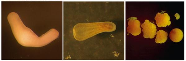 Coral_larvae.JPG