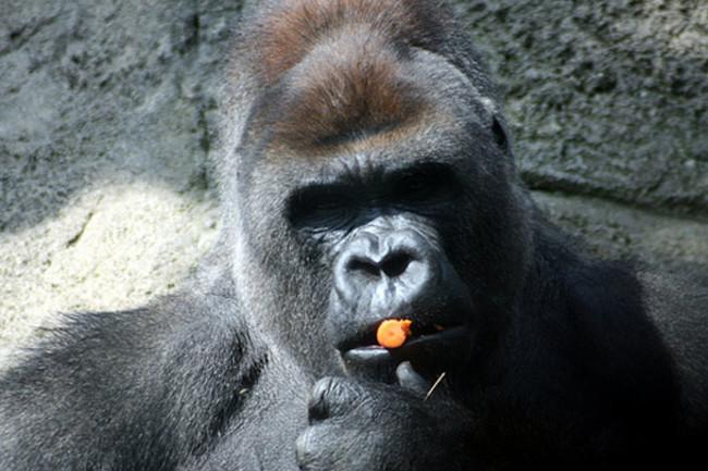 Perplexed-gorilla-is-perple
