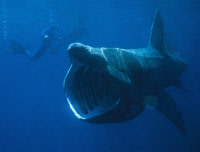 Basking-Shark.jpg