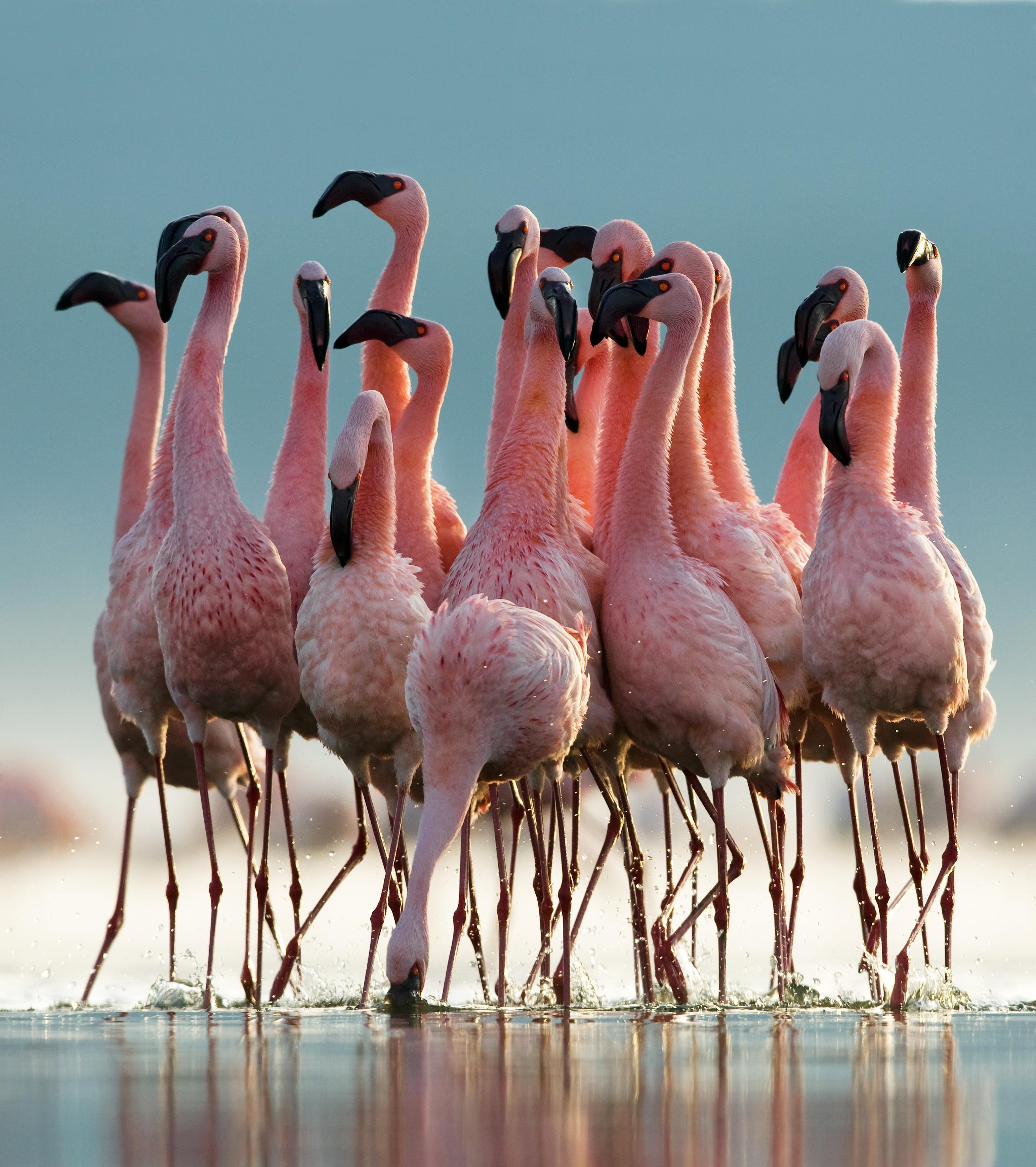 Lesser Flamingos 2 - Paul McKenzie