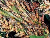 Locusts_feeding.jpg