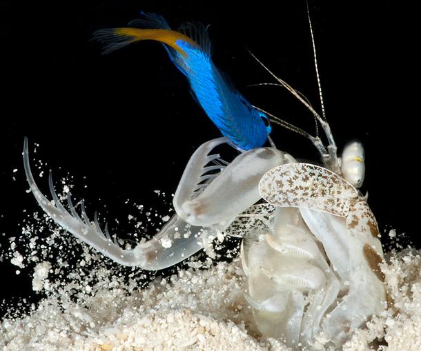 Mantis_shrimp_spearer1.jpg