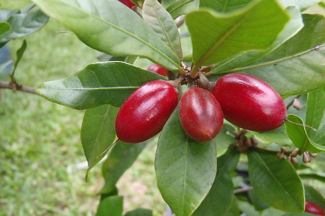 miracleberries.jpg