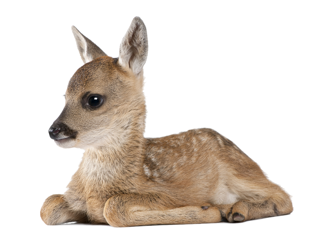 Baby Deer Fawn - Shutterstock