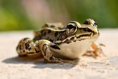 leopardfrog.jpg