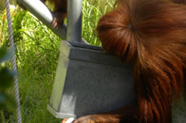 Orangutan_tool_biscuitWIN.jpg